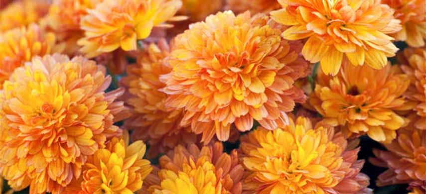 flori perene de toamna