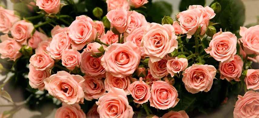 alegerea butasilor de trandafir in sezonul rece