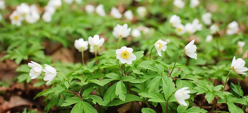 sfaturi plantare anemone