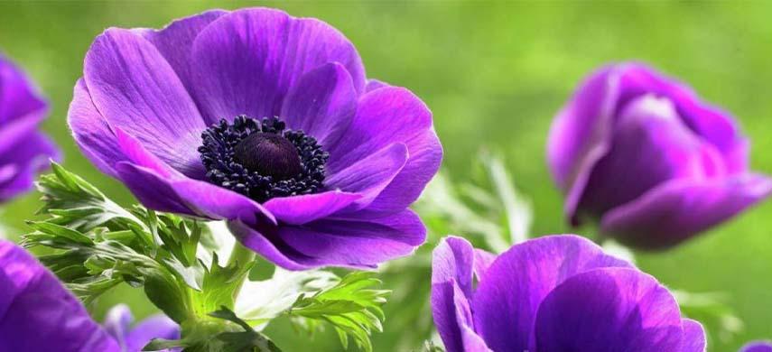 recomandari plantare anemone