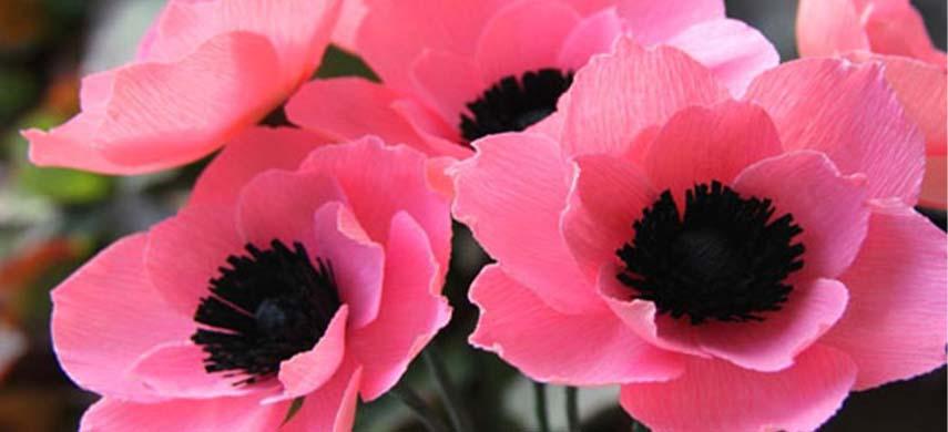 ingrijire anemone