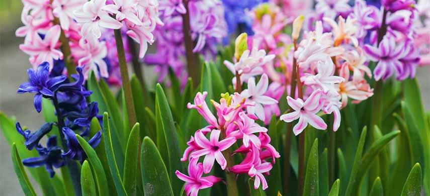 flori ușor de îngrijit zambile