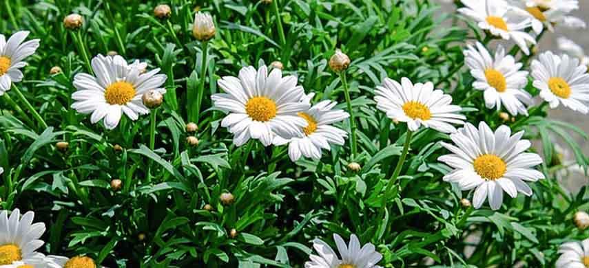 flori ușor de îngrijit margarete