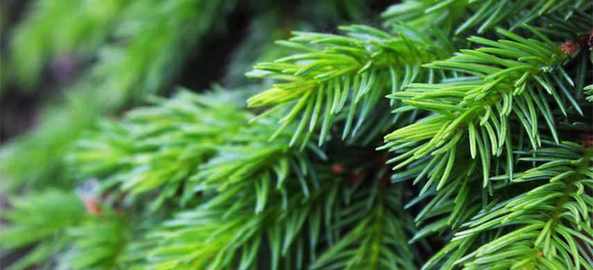 ingrijirea coniferelor de gradina