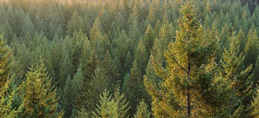 cum se ingrijesc coniferele iarna