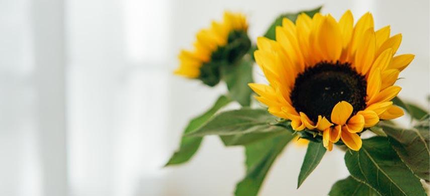 plantare floarea-soarelui in ghiveci