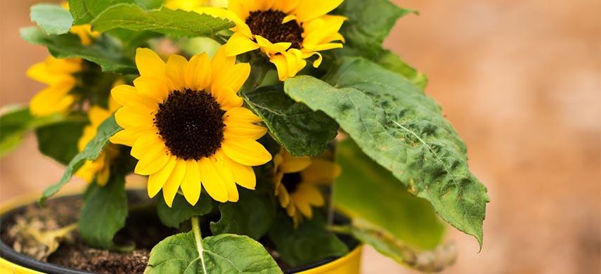 floarea-soarelui cultivata in casa