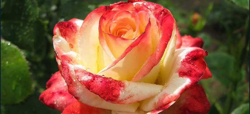 Cele mai populare tipuri de trandafiri