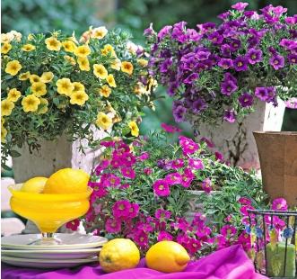 Semințe de flori anuale