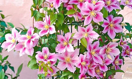 Clematis Pink | GrădinaMax
